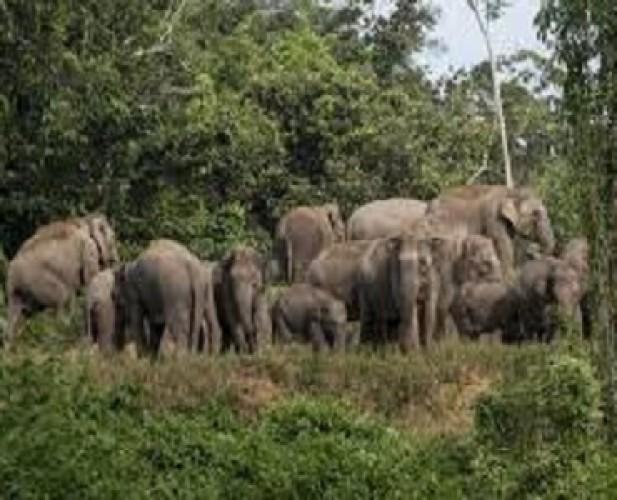Kawanan Gajah di Suoh Mulai Bergeser ke Perbatasan Tanggamus