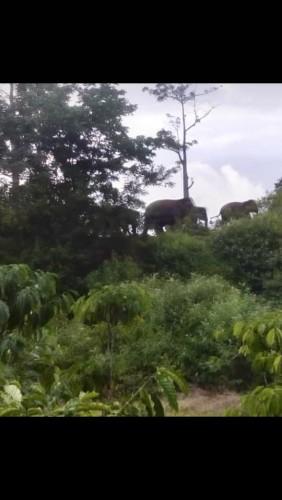 Kawanan Gajah Masuk Ke Roworejo