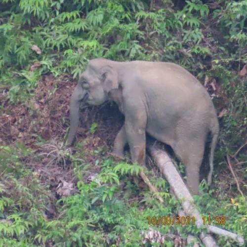 Kawanan Gajah Mendekati Permukiman Warga di Bandarnegeri Suoh