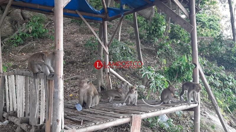 Monyet di Bukit Banten Cuma Diberi Makan Seminggu Sekali