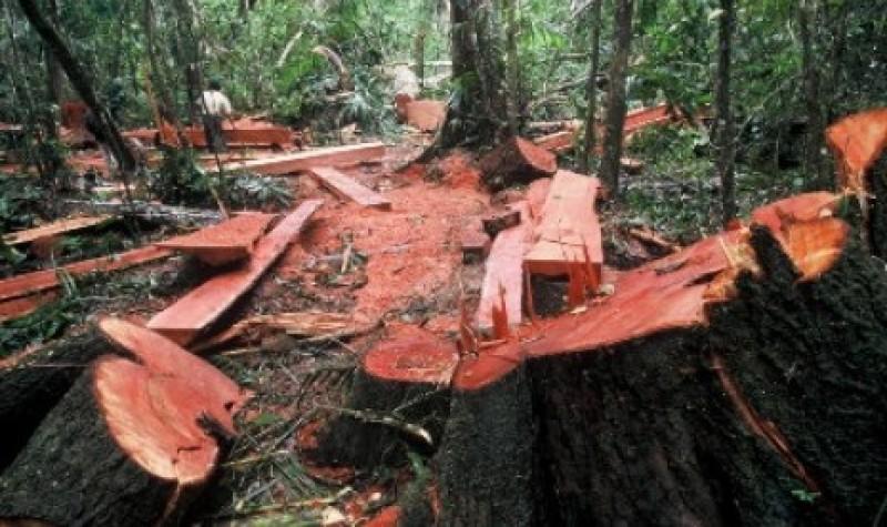 Kayu Sonokeling Jadi Incaran Utama Pembalakan Liar