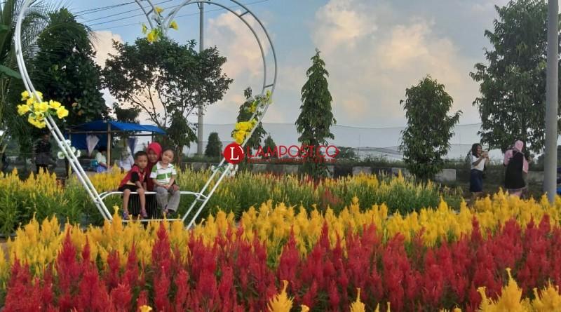 Keindahan di Kebun Bunga Celosia Metro