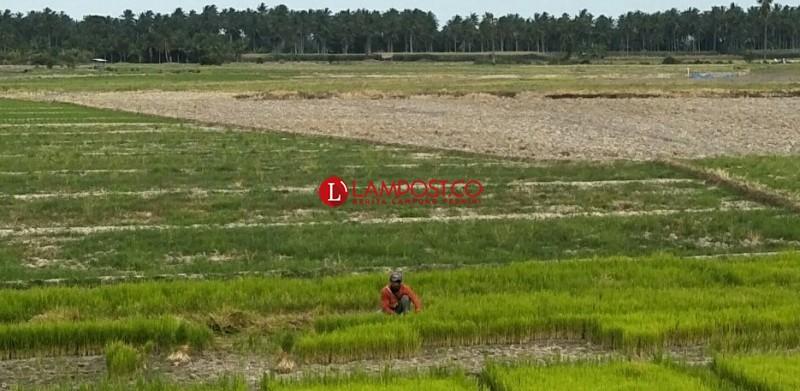 Kemarau, 68 Ha Tanaman Padi di Ketapang Terancam Gagal Panen