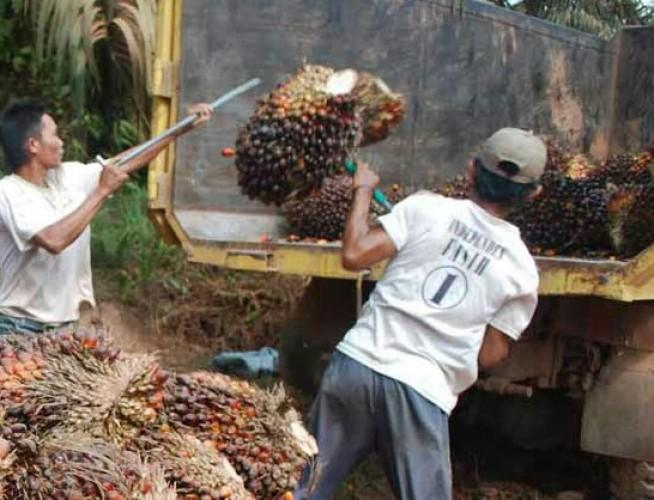 Kenaikan Harga Sawit tak Berdampak Pada Petani