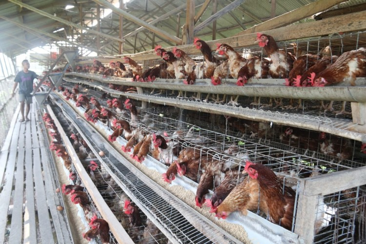 Keterbatasan Stok Jagung Pakan Ternak Jadi Faktor Harga Telur Anjlok