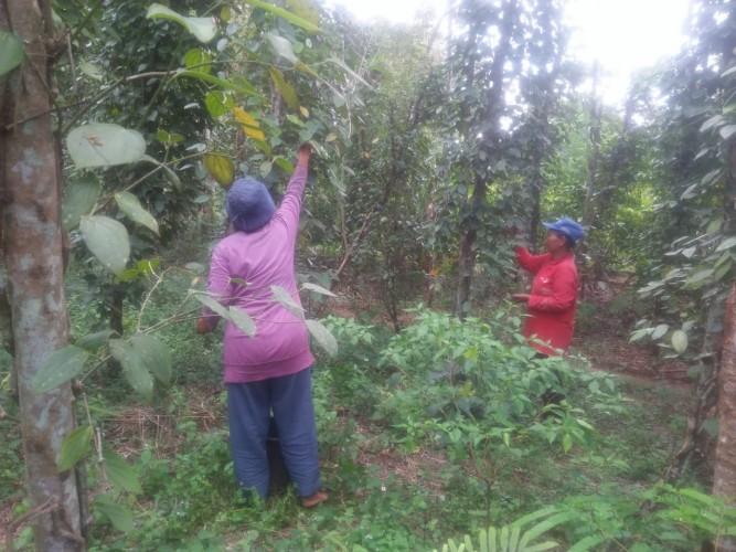 Ketika Kejayaan Lada Tak Lagi Menjadi Harapan Bagi Petani Lampura