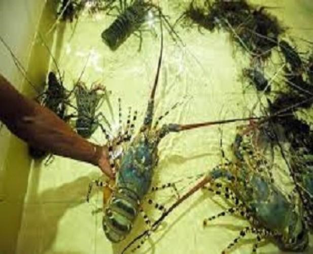 Lampung Miliki Potensi Besar Jadi Lumbung Lobster Indonesia