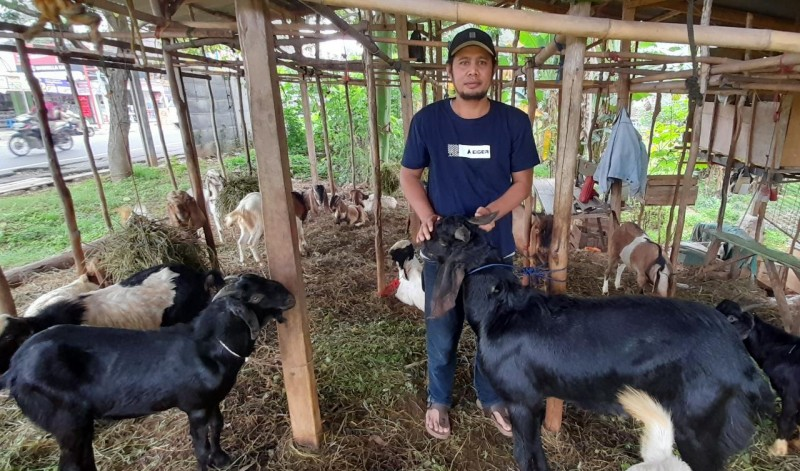 Lampung Stok Kambing 40.691 Ekor dan Domba 3.082 Ekor Jelang Iduladha