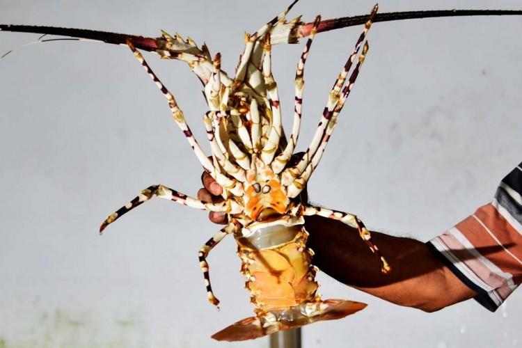 Lobster Bersuara!