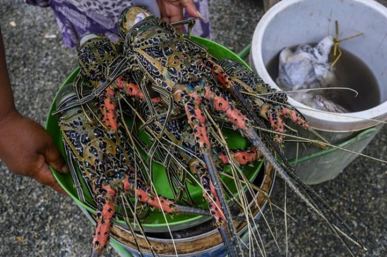 Lobster di Lebak Punya Kualitas Terbaik di Dunia