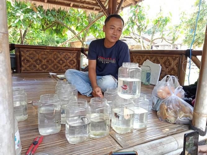 Masa Pandemi, Budi Daya Ikan Cupang Iskandar Hasilkan Jutaan Rupiah