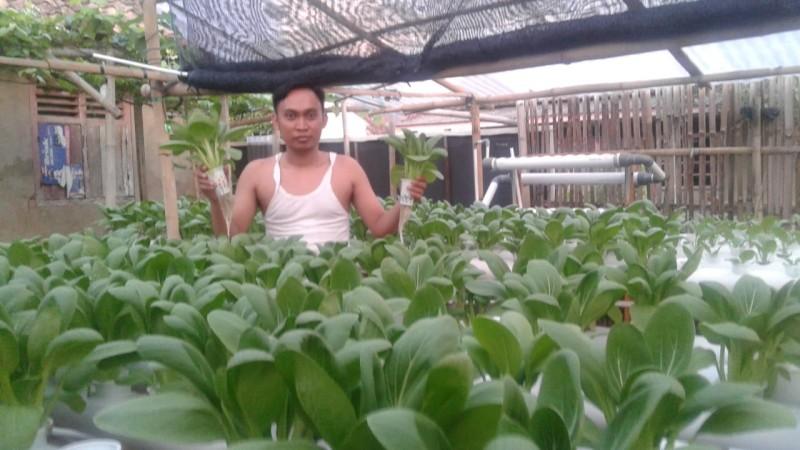 Mendulang Rupiah dari Bertani Hidroponik