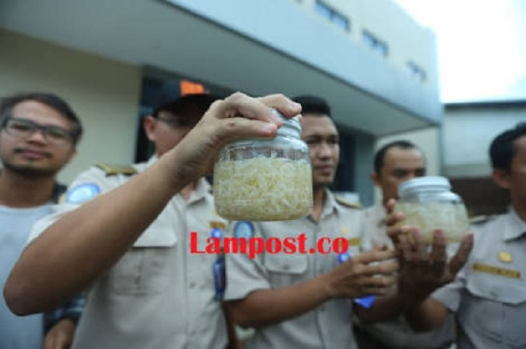 Menteri KP Diminta Tidak Gegabah soal Ekspor Benih Lobster