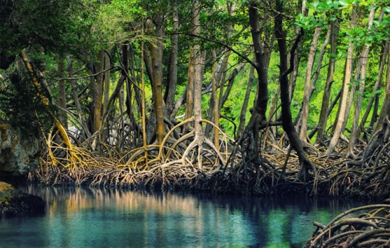 Merawat Hutan Mangrove