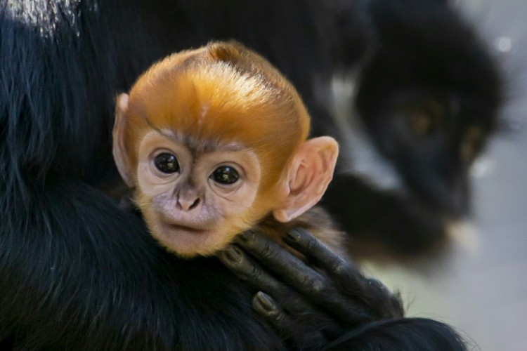 Monyet Spesies Langka