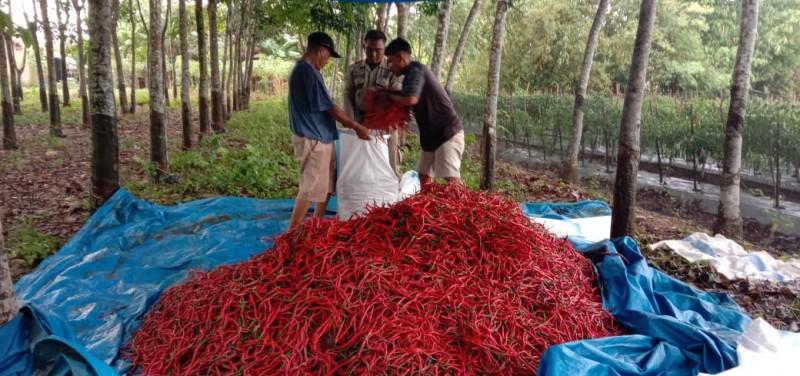 Musim Penghujan, Harga Cabai Merah di Lamsel Naik