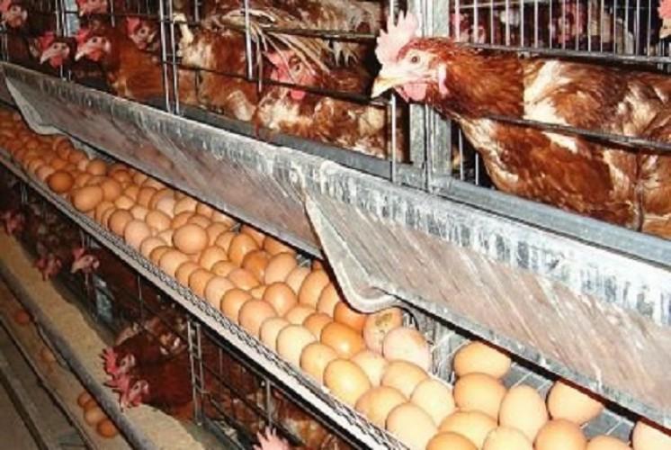 Naiknya Harga Telur Akibat Ulah Spekulan Miliki Peluang Kecil