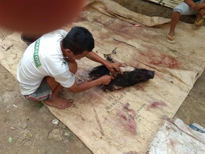 Ngeri, Babi Hutan Berkeliaran di Perkampungan Serang Warga Hingga Tewas