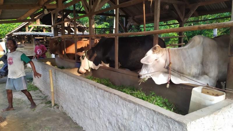 Pelihara Sapi Untuk Tabungan Masa Depan Petani