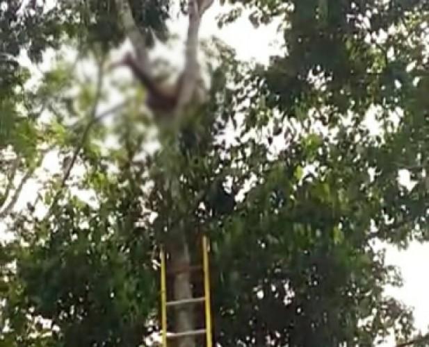 Pemetik Petai Tewas Tersengat Listrik di Atas Pohon