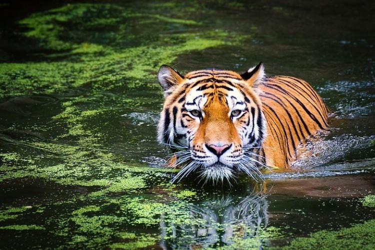 Penggesek Kayu di Hutan Diterkam Harimau