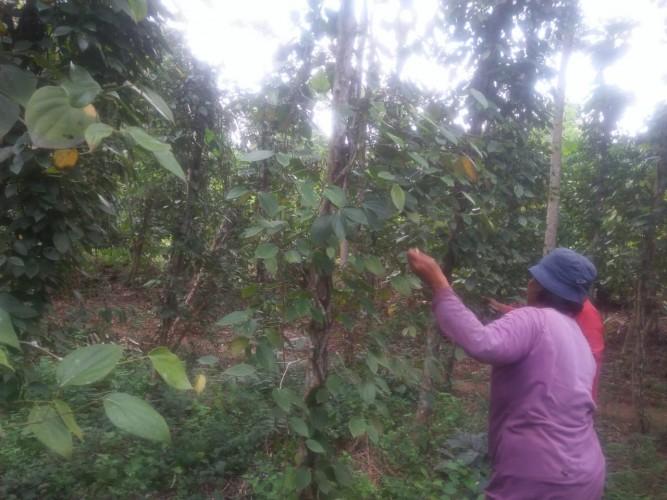 Penggunaan Pestisida Tinggi Turunkan Produktivitas Lada di Lampura