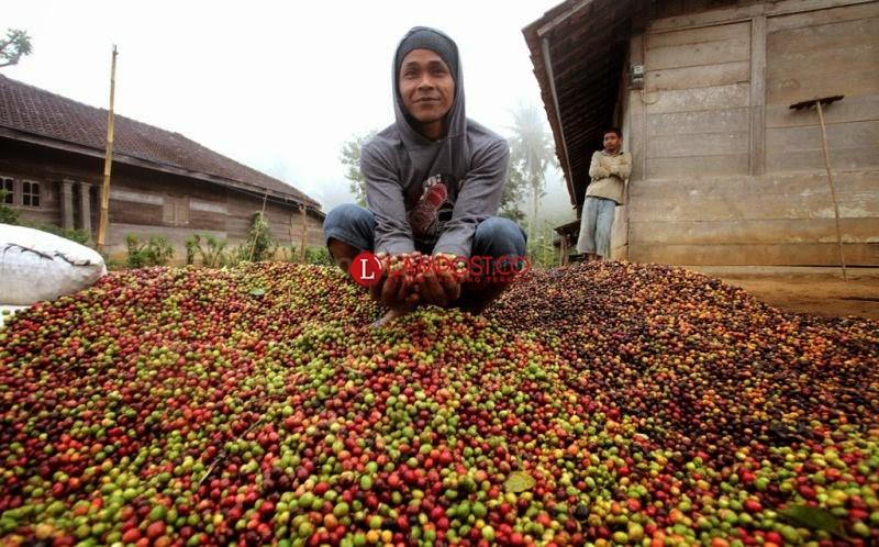 Penjualan Anjlok, Petani Kopi Lampung Surati Jokowi