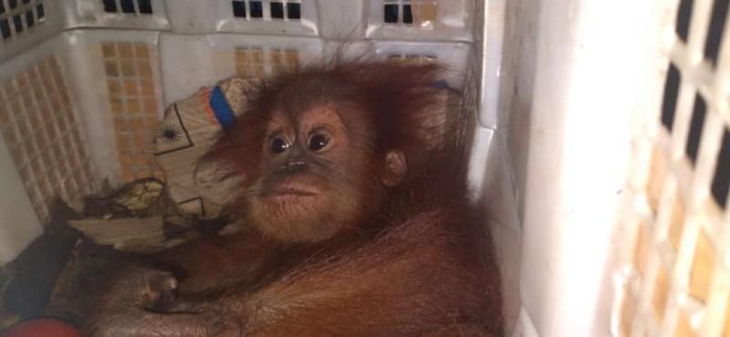 Penyelundupan Anak Orangutan Digagalkan di Bakauheni
