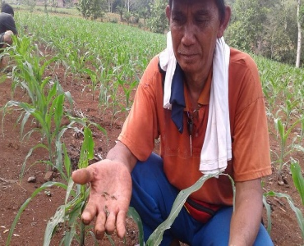 Distan Lampura Andalkan Penyuluh Pertanian Tanggulangi Serangan Ulat <i>Grayak</i>