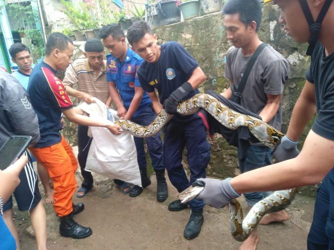 Personel BPBD Kota Evakuasi Ular Sanca Kembang