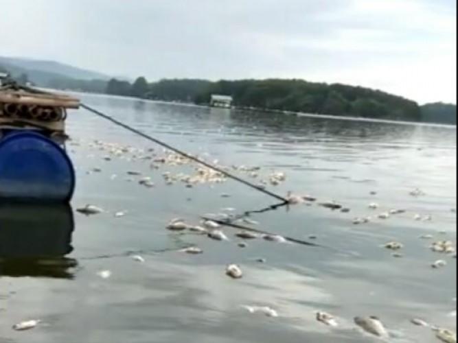 Ribuan Ikan di Bendungan Way Rarem Mendadak Mati