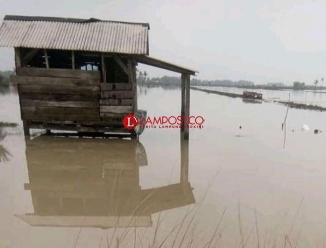 Petambak Udang Vaname Rugi Ratusan Juta Akibat Banjir