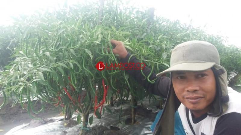 Petani Cabai Merah Sambut Gembira Kenaikan Harga Cabai