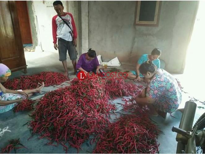 Petani Cabai Merah Tiyuh Candrajaya Panen Raya