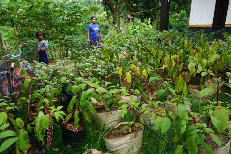 Petani di Desa Bumijaya Budidayakan Ginseng Merah