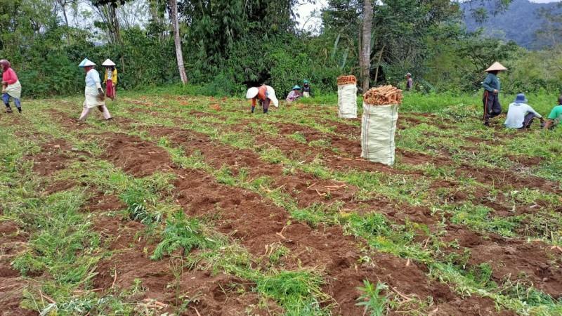 Petani di Liwa Keluhkan Harga Wortel Anjlok
