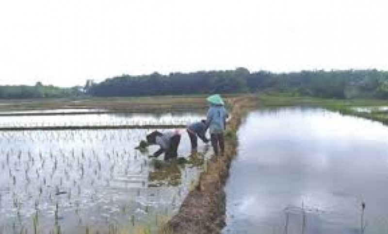 Petani di Palas Kesulitan Pupuk Bersubsidi pada Musim Tanam