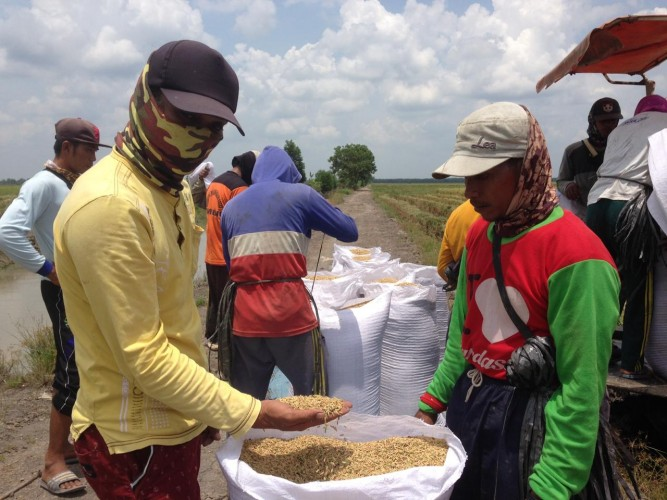 Petani di Rawapitu Keluhkan Harga Gabah Anjlok