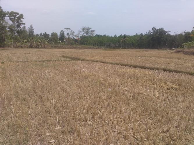 Petani di Rejosari Sudah Pasrah