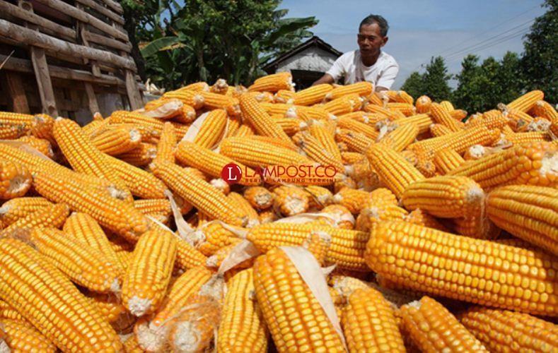 Petani Diimbau Tak Tergantung Benih Jagung dari Pemerintah