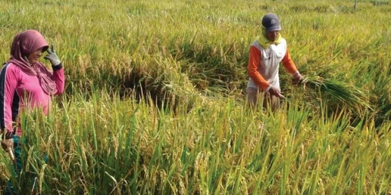 Petani Diimbau Waspadai Serangan Hama saat Musim Hujan