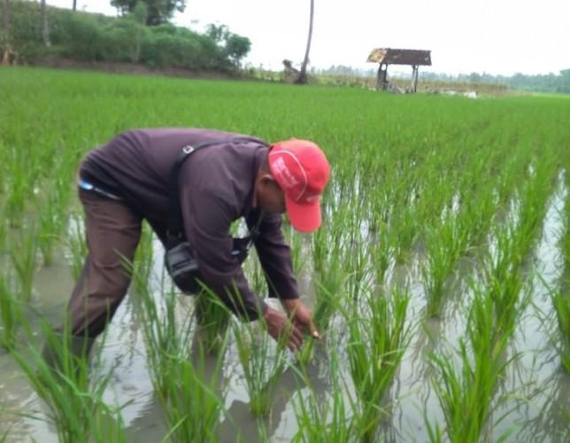 Petani Diminta Waspadai Serangan Hama Saat Curah Hujan Tinggi