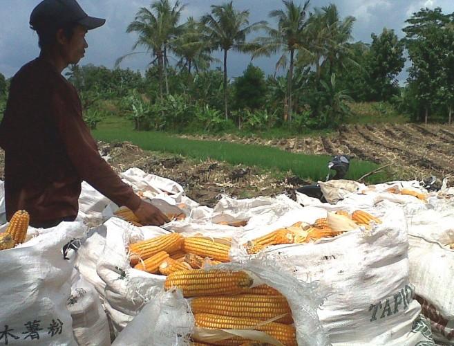 Petani Jagung Keluhkan Potongan di Pabrik Hingga 20 Persen