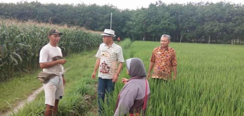 Petani Khawatir Serangan Belalang Kumbara Akibatkan Gagal Panen