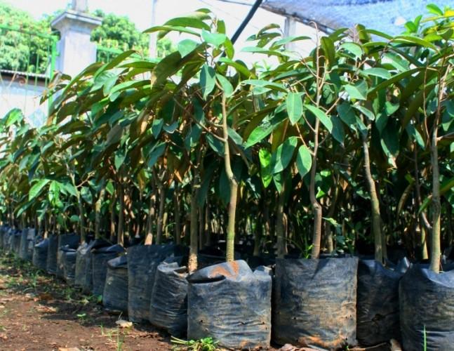 Petani Lambar Dapat Bantuan Bibit Durian dan Manggis