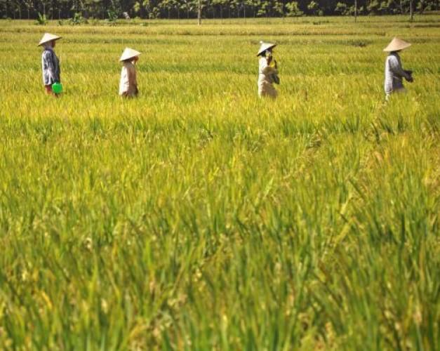 Petani Lampung Mulai Beralih ke Benih Hibrida