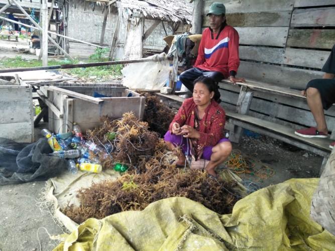 Petani Rumput Laut di Lamsel Merugi Ratusan Juta