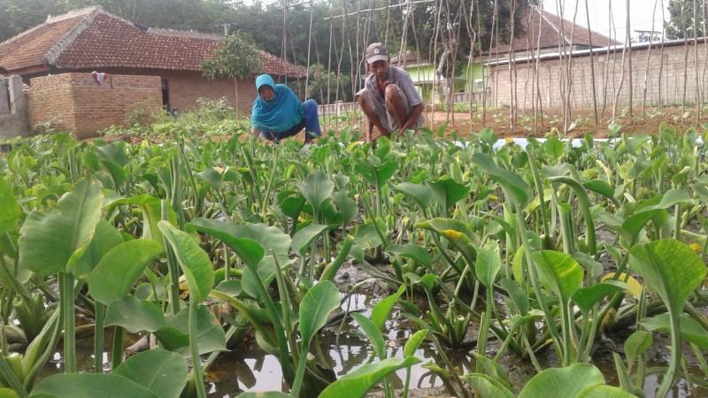 Petani Sayur di Lampura Tetap Menanam di Tengah Pandemi Korona