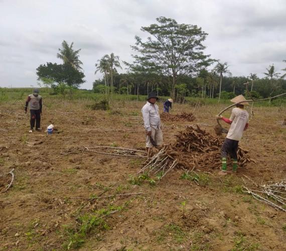 Petani Singkong Sambut Penetapan Harga Rp900 per Kg
