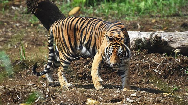 Petani Tewas Diterkam Harimau di Dempo Selatan